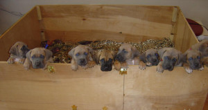 California Cane Corso Puppies