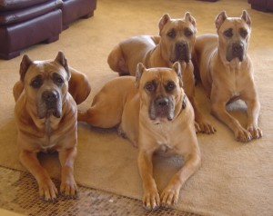 California Cane Corso Family Photo